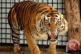 BBKSDA ungkap kronologi serangan harimau di Indragiri Hilir