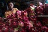 Pedagang memisahkan buah naga yang busuk di gudang buah, Pasar Gadang, Malang, Jawa Timur, Senin (21/1/2019). Melimpahnya stok buah naga di pasaran saat musim panen raya membuat para pedagang dan petani justru merugi karena selain harganya anjlok dari Rp15.000 menjadi 5 ribu rupiah per kilogram, banyak buah naga yang membusuk sebelum sempat terjual. Antara Jatim/Ari Bowo Sucipto/ZK.
