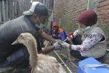 Petugas dari Dinas Peternakan dan Kesehatan Hewan melakukan vaksinasi terhadap unggas di Desa Tukdana, Indramayu, Jawa Barat, Kamis (31/1/2019). Pemberian vaksin tersebut untuk mencegah terjangkitnya penyakit flu burung pada unggas yang biasa menyerang saat musim penghujan. ANTARA JABAR/Dedhez Anggara/agr.