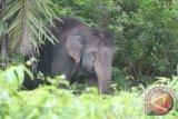 Kawanan gajah liar rusak tanaman warga Lampung Barat