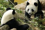 Setelah insiden Festival es, di Beijing panda nyaris terkam pengunjung