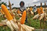 Konsumsi beras berlebih, Kementerian Pertanian inisiasi diversifikasi pangan
