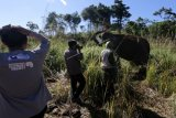 Tim medis kesehatan hewan Balai Konservasi Sumber Daya Alam (BKSDA) Aceh memeriksa kondisi seekor gajah jinak betina yang cedera akibat diserang kawanan gajah liar di Desa Negeri Antara, Kecamatan Pintu Rime, Bener Meriah, Aceh, Selasa (12/2/2019). Gajah jinak yang bernama Ida dengan umur sekitar 40 tahun mengalami cedera pada kaki kiri belakang sehingga harus dievakuasi ke PLG Saree untuk penanganan medis. (ANTARA FOTO)