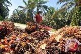 Harga sawit Riau turun Rp4,46/kg