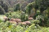 Kawanan gajah kembali rusak perkebunan-pertanian warga Lampung Barat