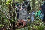 Anggota Polsek dan Koramil Menukung melepaskan satu dari enam individu Orangutan di dalam kawasan Taman Nasional Bukit Baka Bukit Raya (TNBBBR), Kabupaten Melawi, Kalbar, Kamis (14/2/2019). IAR Indonesia bersama Balai TNBBBR dan BKSDA Kalbar melepasliarakan enam individu orangutan di kawasan tersebut. ANTARA FOTO/HO/Humas IAR Indonesia-Rudiansyah/jhw