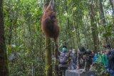 Satu dari enam individu Orangutan bergelantungan di pohon setelah dilepaskan di dalam kawasan Taman Nasional Bukit Baka Bukit Raya (TNBBBR), Kabupaten Melawi, Kalbar, Kamis (14/2/2019). IAR Indonesia bersama Balai TNBBBR dan BKSDA Kalbar melepasliarakan enam individu orangutan di kawasan tersebut. ANTARA FOTO/HO/Humas IAR Indonesia-Rudiansyah/jhw