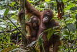 Dua dari enam individu Orangutan bergelantungan di pohon setelah dilepaskan di dalam kawasan Taman Nasional Bukit Baka Bukit Raya (TNBBBR), Kabupaten Melawi, Kalbar, Kamis (14/2/2019).IAR Indonesia bersama Balai TNBBBR dan BKSDA Kalbar melepasliarakan enam individu orangutan di kawasan tersebut. ANTARA FOTO/HO/Humas IAR Indonesia-Rudiansyah/jhw