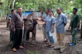 Yeti, Gajah Way Kambas Lampung Sakit