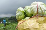 Dampak corona, harga kubis anjlok dan petani merugi