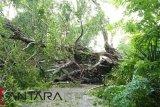 Pohon tumbang tutup akses transportasi Oesao-Oekabiti