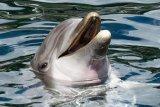 Nelayan Jatim ditangkap akibat perdagangan ilegal 9 lumba-lumba