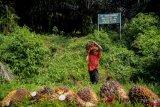 Harga Sawit Riau Turun Rp1,1/Kg