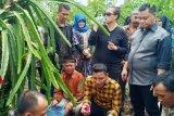 Buah naga Kotim menembus pasar Malaysia