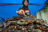 DKP Muna pastikan kepiting bakau cocok dikembangkan