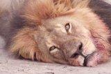 Terkam pemiliknya hingga tewas, dua ekor singa ditembak mati