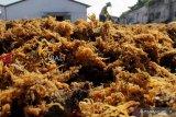Kabupaten Nunukan ekspor 21 ton rumput laut ke Tiongkok