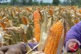Dinas Pertanian targetkan 1,32 juta ton jagung pipilan kering