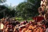 Harga sawit Riau naik  Rp52,94/kg
