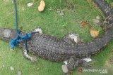 Sebanyak 2.703 kura-kura dan penyu, 1.059 ular, 512 kadal dan tokek serta 20 buaya disita