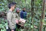 BKSDA Kalteng lepasliarkan dua ekor Kukang di Pararawen