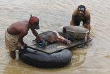 Warga mengevakuasi hewan ternak miliknya akibat banjir bandang Sentani di Sentani, Jaya Pura, Papua, Selasa (19/3/2019). Banjir bandang yang melanda Sentani sejak Sabtu (16/3) lalu, mengakibatkan sedikitnya enam ribu orang mengungsi ke sejumlah posko pengungsian. (ANTARA FOTO)
