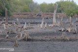 Ratusan hektare hutan bakau terancam punah akibat ulah pemerintah