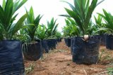 Riau dapat Rp720 juta guna peremajaan sawit rakyat