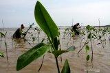 Korcab VI DJA II tanam 1.000 mangrove
