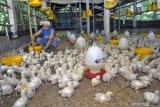 Harga jatuh ayam ras jatuh, Kementan gandeng organisasi peternak