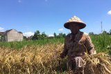 Meski turun, harga gabah masih menguntungkan petani