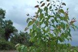 Golkar Kampar tanam ratusan eucalyptus