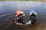 Masyarakat Warimak Raja Ampat selamatkan lumba-lumba terdampar