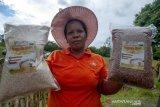 Pengembangan beras organik