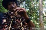 Ribuan petani Riau tanam Jernang karena lebih menguntungkan dari sawit