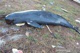 Seekor lumba-lumba tanpa sirip terdampar hingga mati di Riau