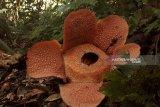 Polhut temukan bunga rafflesia mekar