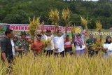 Hasil budidaya padi invari 42 berproduksi lebih 11 ton