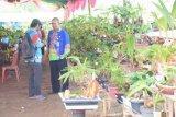 Perkumpulan bonsai kelapa Waykanan berniat pecahan rekor MURI