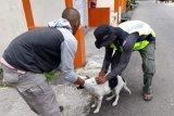 Dua warga Flores meninggal akibat digigit anjing rabies