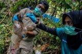 Tim medis International Animal Rescue (IAR) mengecek kondisi kesehatan seekor Kukang Jawa (Nycticebus javanicus) sebelum dilepasliarkan ke tempat Suaka Margasatwa Gunung Sawal (SMGS), Kabupaten Ciamis, Jawa Barat, Jumat (3/5/2019). Sebanyak 31 ekor Kukang tersebut merupakan hasil serahan masyarakat ke sejumlah BKSDA di Wilayah Jabar dan dititiprawatkan ke IAR Indonesia untuk menjalani rehabilitasi, untuk dilepasliarkan kembali ke habitatnya di SMGS dan di Hutan Konservasi Masigit-Kareumbi, Bandung. ANTARA FOTO