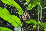 Seekor Kukang Jawa (Nycticebus javanicus) memanjat pohon saat dilepasliarkan ke tempat Suaka Margasatwa Gunung Sawal (SMGS), Kabupaten Ciamis, Jawa Barat, Jumat (3/5/2019). Sebanyak 31 ekor Kukang tersebut merupakan hasil serahan masyarakat ke sejumlah BKSDA di Wilayah Jabar dan dititiprawatkan ke IAR Indonesia untuk menjalani rehabilitasi, untuk dilepasliarkan kembali ke habitatnya di SMGS dan di Hutan Konservasi Masigit-Kareumbi, Bandung. ANTARA FOTO