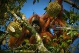 Orangutan Tapanuli ternyata juga menyukai durian