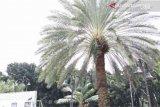 Pohon kurma mulai berbuah di Masjid Al-Barkah Bekasi