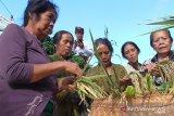 Jelang panen padi gaga, Warga Buleleng adakan ritual