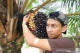 Harga tandan buah segar sawit Riau turun Rp52,93