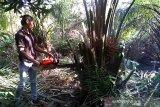 120 pohon sawit liar di Taman Nasional Zamrud dimusnahkan!