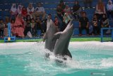 Pengunjung menyaksikan dua ekor lumba-lumba melakukan atraksi saat sirkus lumba-lumba digelar di Surabaya, Jawa Timur, Jumat (7/6/2019). Sirkus lumba-lumba dan sejumlah hewan lainnya yang digelar hingga 7 Juli 2019 tersebut untuk memberikan edukasi dan hiburan alternatif bagi masyarakat dalam mengisi libur Lebaran. Antara Jatim/Moch Asim/zk.