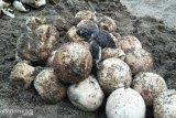 Hendri penyelamat telur penyu di pantai Padang Pariaman