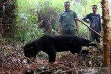 Salah satu Beruang Madu (Helarctos malayanus) terkena jerat babi di perkebunan sawit Desa Lubuk, Kecamatan Jeumpa, Aceh Barat Daya,  Selasa (11/6/2019). Dua ekor Beruang Madu jantan dan betina yang cidera pada kaki akibat terkena jerat babi milik warga kini telah berada dalam pengawasan petugas terkait. (Antara Aceh/Khalis)